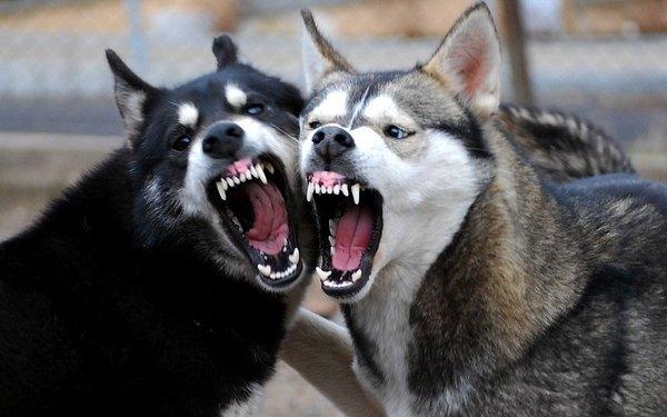 10 baka anjing yang paling berbahaya di dunia | Iluminasi