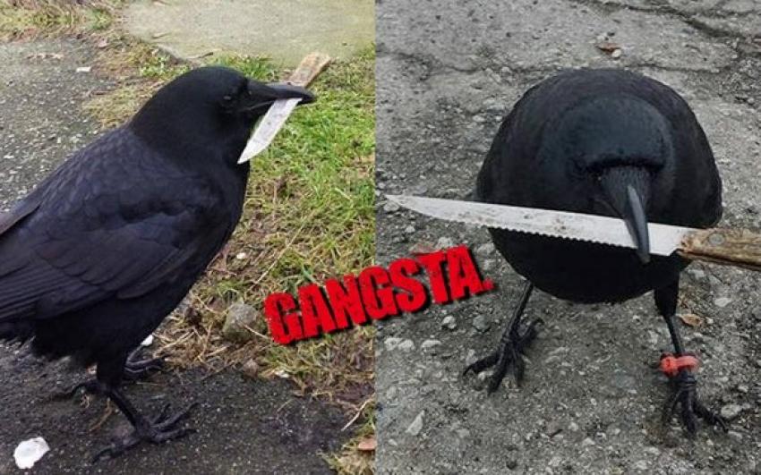 5 Kisah Membuktikan Burung Gagak Adalah Penjenayah Hebat Iluminasi
