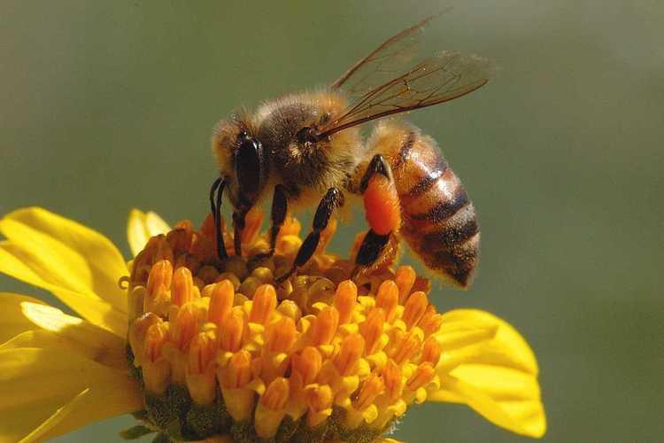 9 fakta menarik mengenai lebah madu haiwan paling sibuk di dunia 7