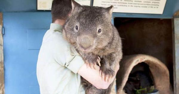 9 fakta menarik mengenai wombat 0