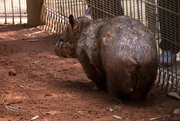 9 fakta menarik mengenai wombat 11