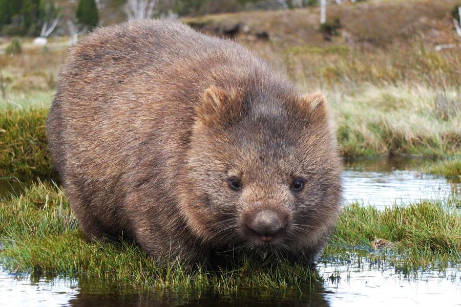 9 fakta menarik mengenai wombat 6 245
