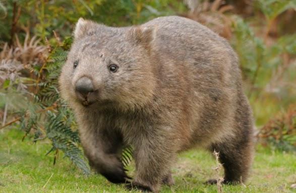 9 fakta menarik mengenai wombat 9