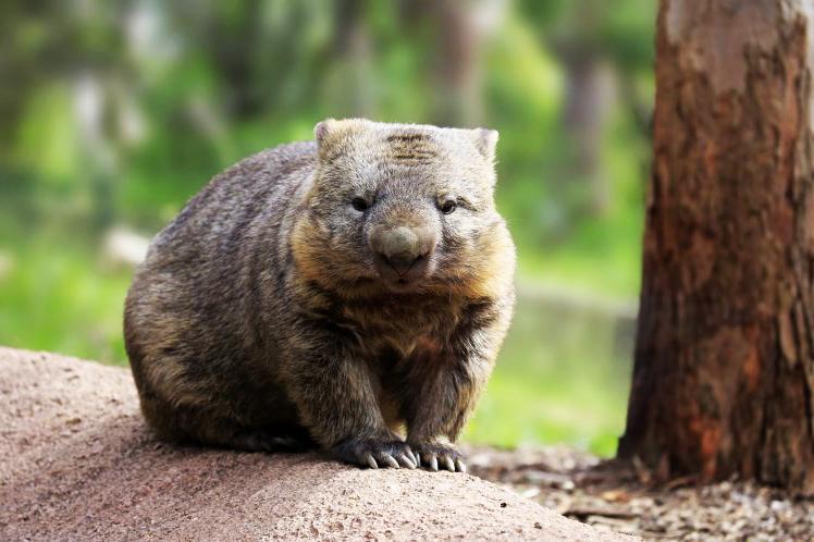 9 fakta menarik mengenai wombat