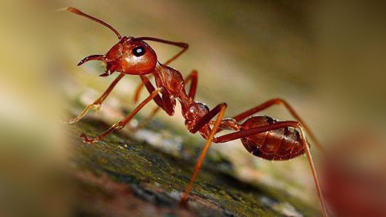 9 fakta menarik tentang semut yang sangat mengagumkan