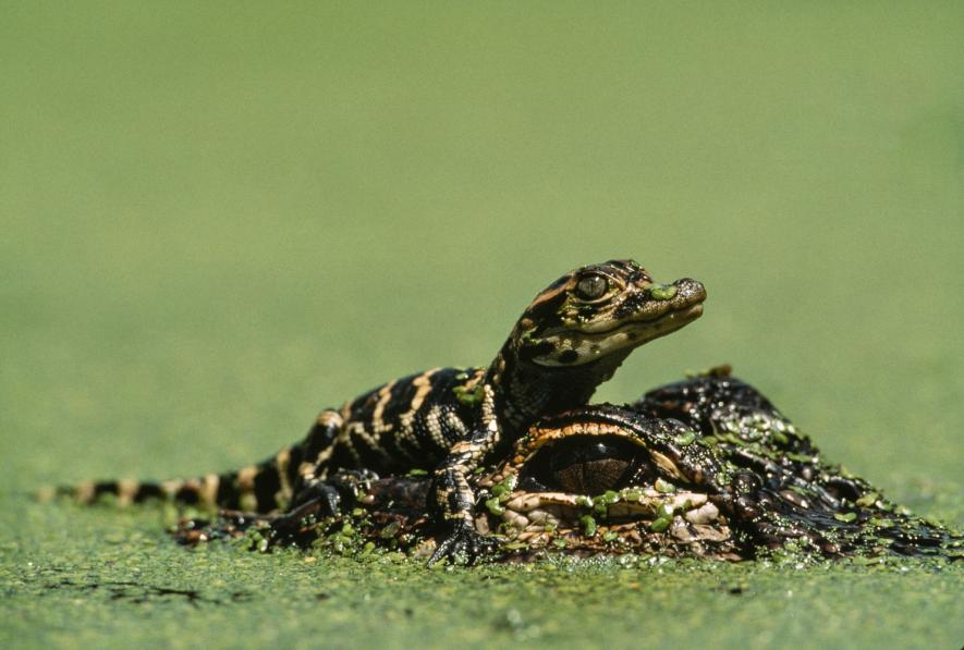 aligator membawa anak di atas kepala