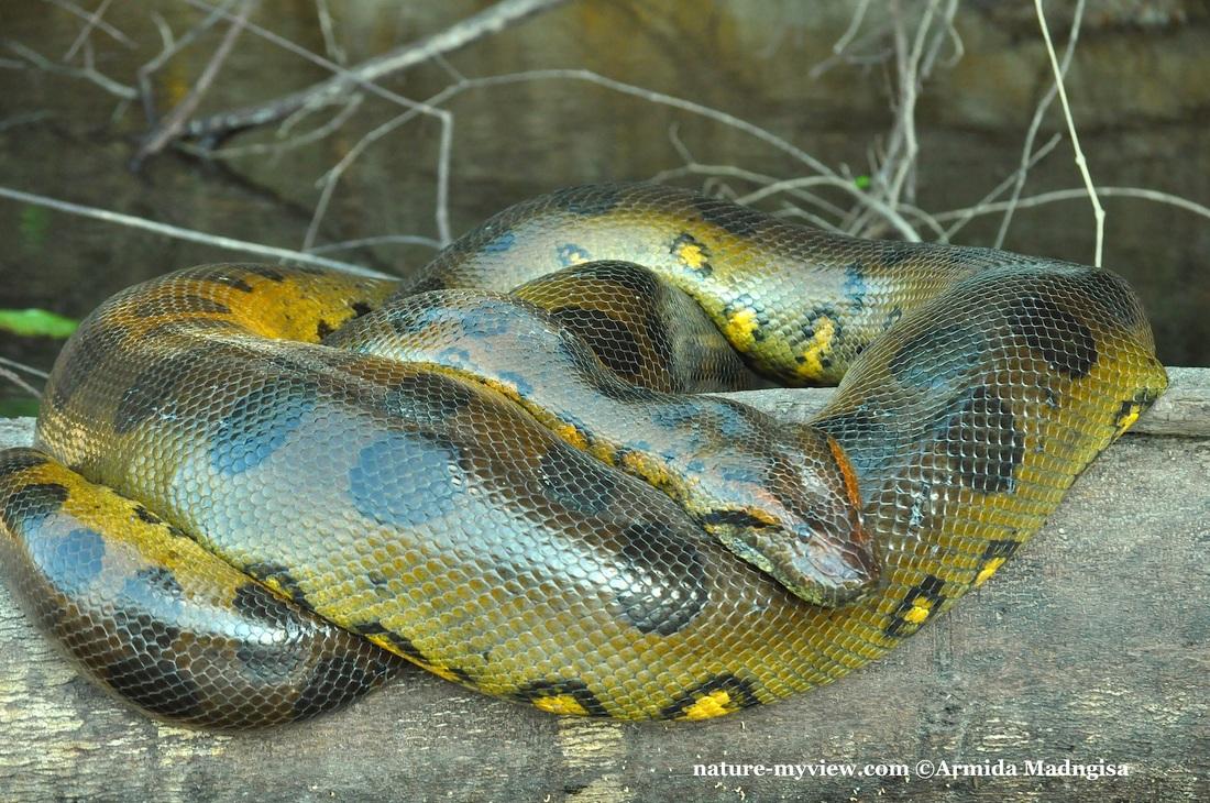anaconda hijau ular paling besar di dunia