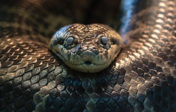anaconda tidak berbisa