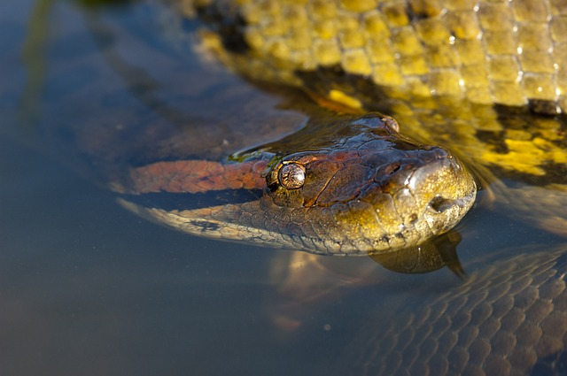 anaconda ular terbesar di dunia