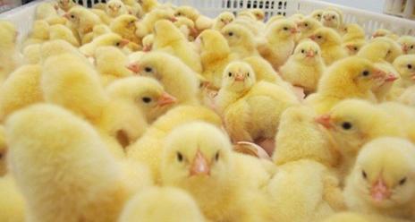 anak ayam 561