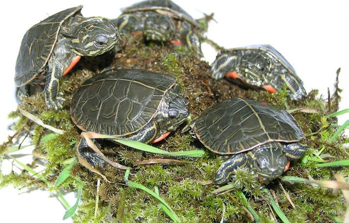 anak kura kura painted turtle boleh hidup membeku
