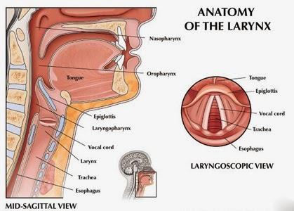 anatomi kotak suara tekak