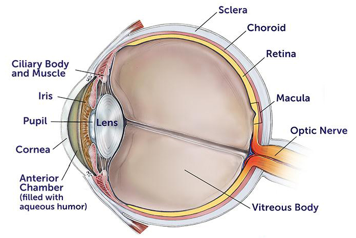 anatomy of the eye 345