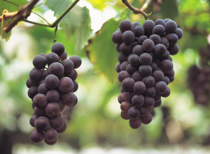 anggur di pokok
