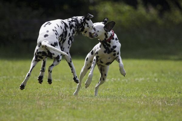 anjing baka dalmatian