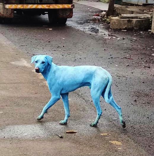 anjing biru 853