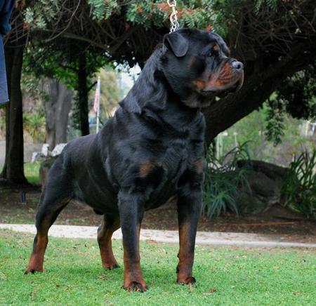 anjing jenis rottweilers