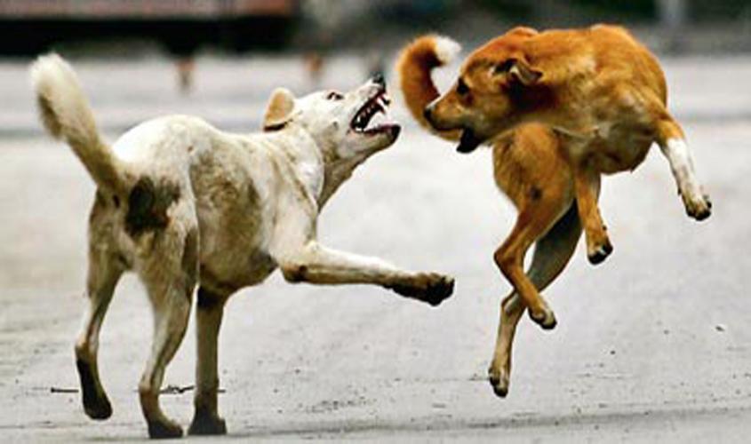 anjing lawan anjing melompat