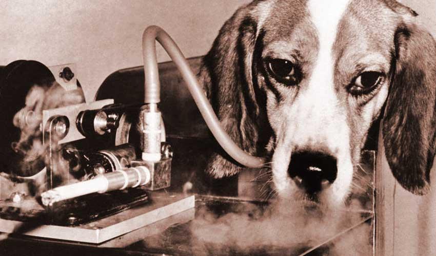 anjing menjadi kajian tembakau