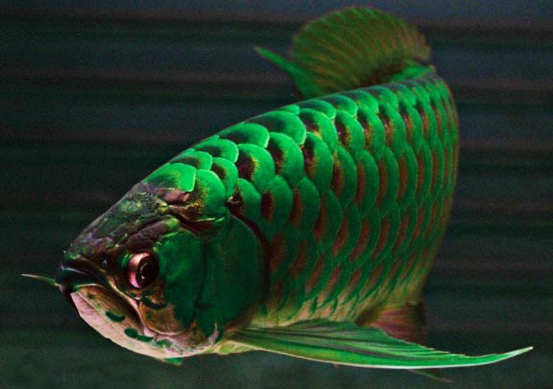6 Spesis Ikan Tropika Paling Mahal Di Dunia | Iluminasi