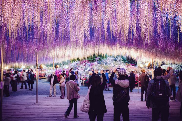 ashikaga flower park jepun bunga wisteria cantik