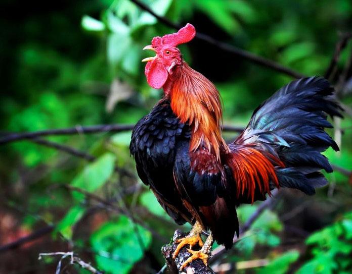 ayam jantan mempunyai balung lebih besar dari ayam betina 842