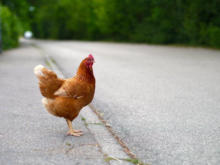 ayam melintas jalan
