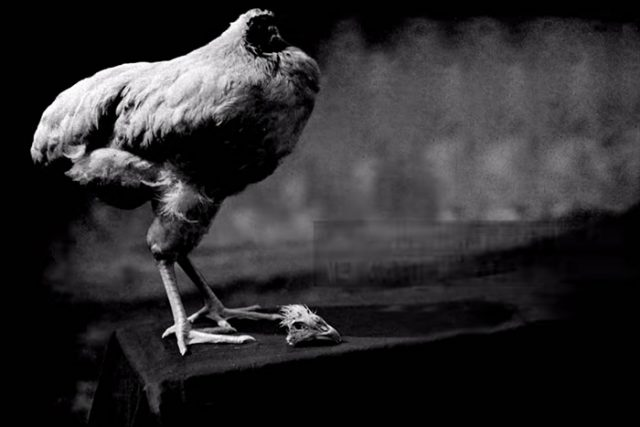ayam miracle mike akhirnya mati