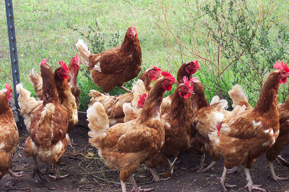balung ayam juga menjadi penentu kehebatan seseekor ayam itu 92