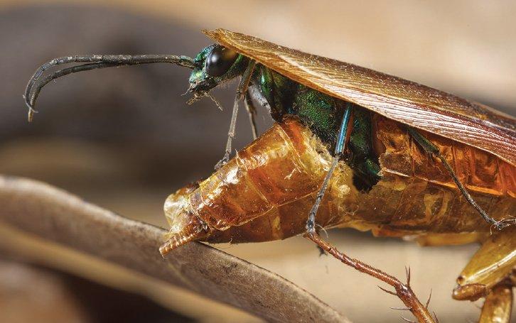 beberapa spesis lebah juga akan pupus lebah parasit
