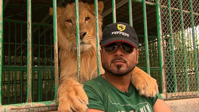 bela singa sebagai haiwan kesayangan