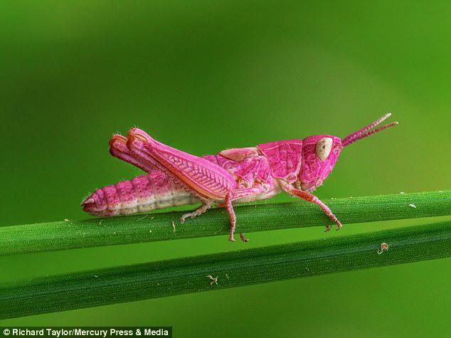 belalang pink
