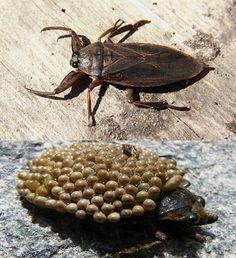 belostomatidae serangga air bawa telur di belakang sehingga menetas