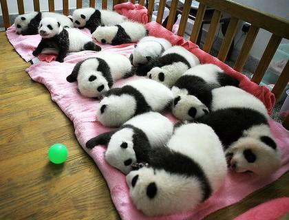 beruang panda cute comel 310