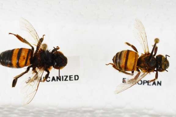 beza lebah madu
