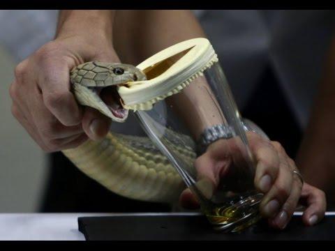 bisa king cobra cecair paling mahal di dunia
