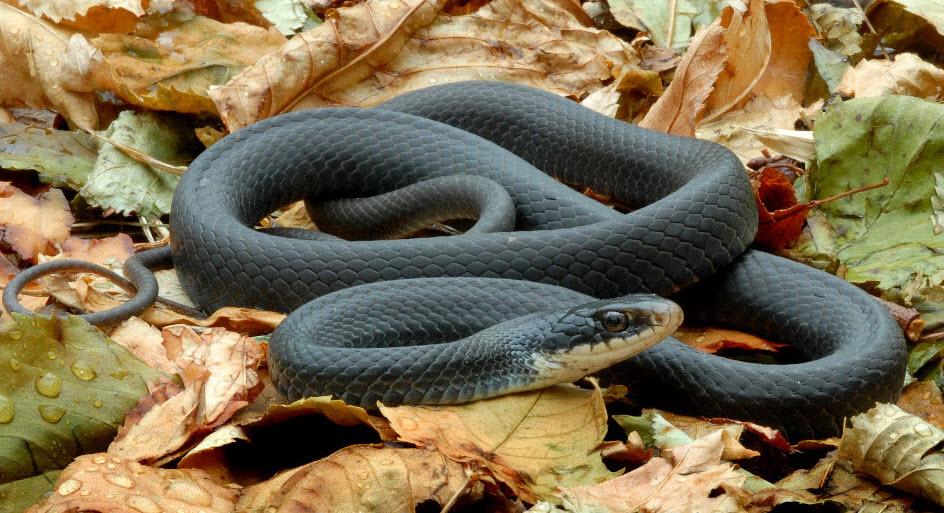 black mamba ular paling berbisa di dunia