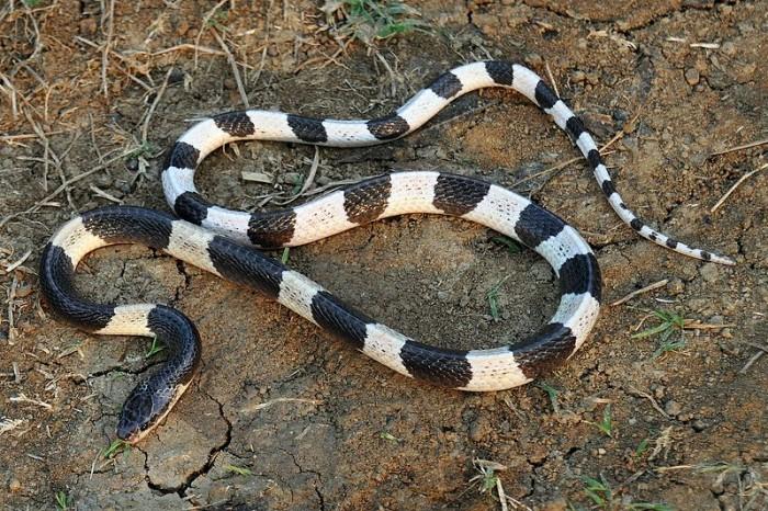blue krait ular paling berbisa di dunia 131