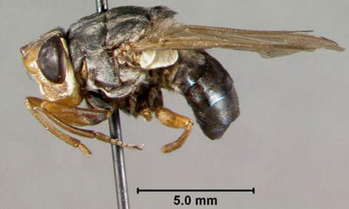 botfly betina dewasa 815
