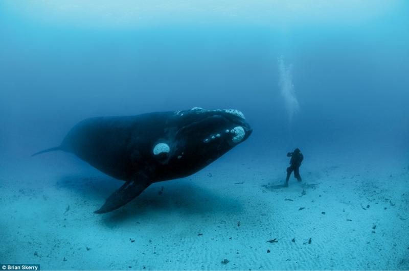 bowhead whale makhluk paling lama hidup