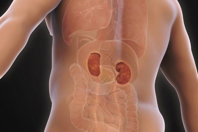 buah pinggang manusia antara organ popular boleh dijual