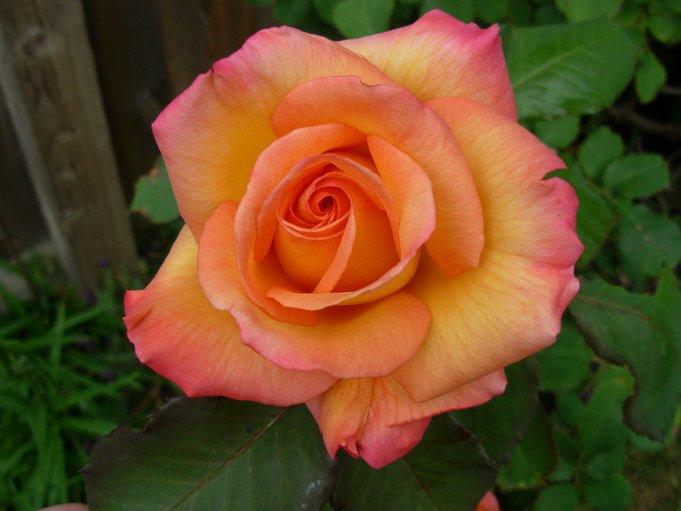 bunga mawar freddie mercury 10 perkara tentang freddie mercury yang ramai tak tahu