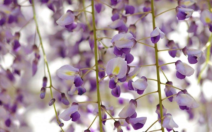 bunga wisteria secara lebih dekat