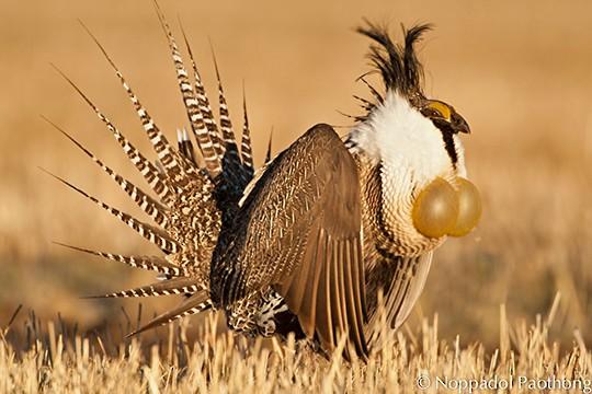 burung gunnison sage grouse spesies baru pelik