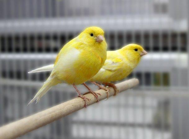 burung kenari digunakan di lombong 2