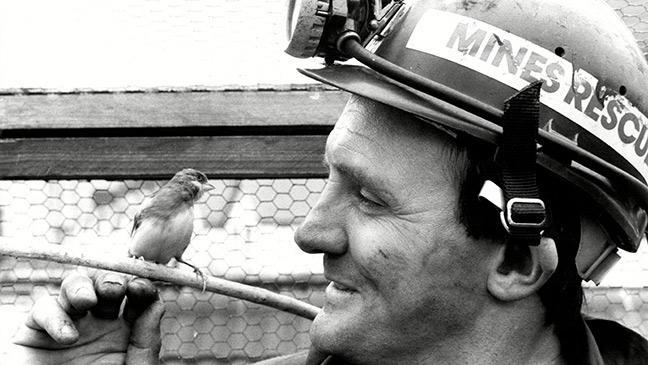 burung kenari digunakan di lombong