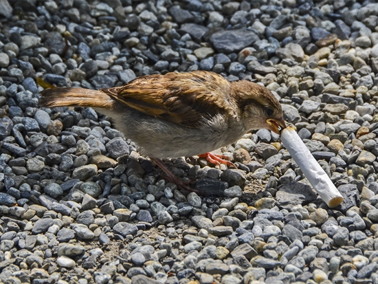 burung makan puntung rokok