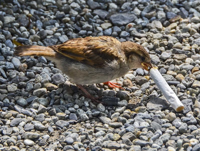 burung mengambil putung rokok