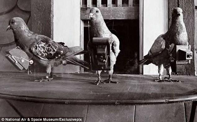 burung merpati ejen pengintip
