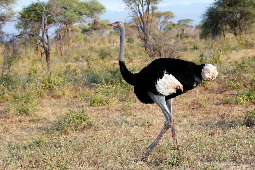 burung unta somalia